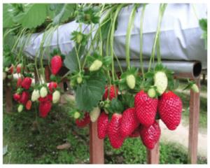 Strawberry mahabaleshwar